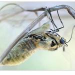 25 segundos: eclosión de una Papilio machaon